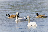 Geese and Swans